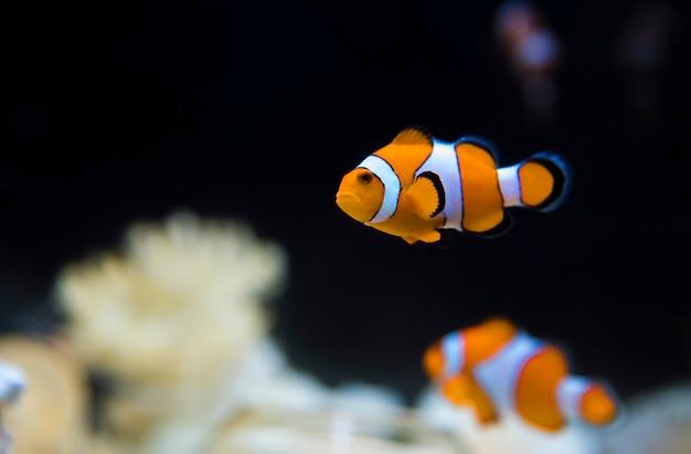 Anêmona-do-mar e peixe-palhaço no aquário marinho.osaka japão