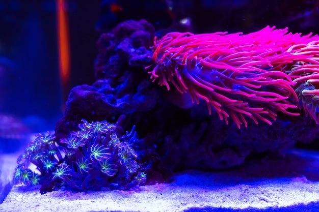 Anêmonas. corais em um aquário marinho.