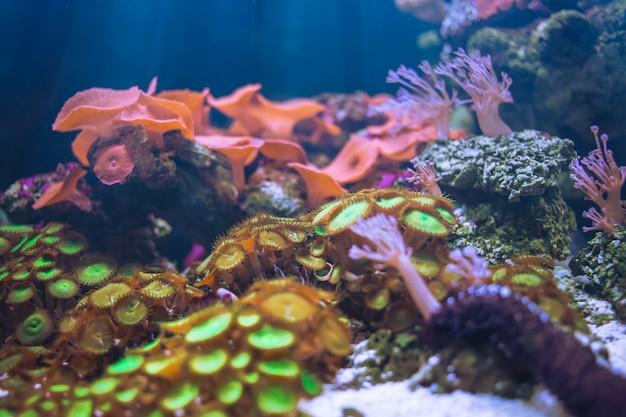 Anêmonas do mar debaixo d'água no oceano