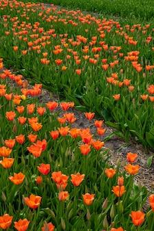 Ângulo alto vertical de lindas tulipas laranja capturadas em um jardim de tulipas