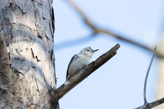 Ângulo baixo de um lindo pássaro nuthatch de peito branco descansando no galho de uma árvore