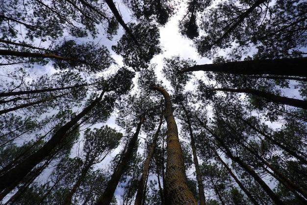 Ângulo baixo dramático de pinheiros densos