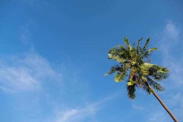 Ângulo de uprisen da árvore de coco sozinha alta bonita com céu azul. copiar espaço e imagem