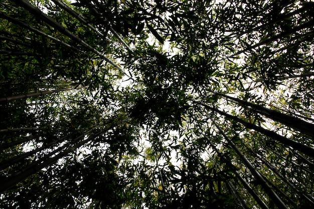 Ângulo de visão ascendente de uma floresta de bambu exuberante.