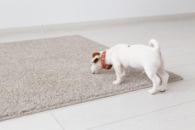 Animais de estimação, animais e conceito doméstico - pequeno cachorro jack russell terrier brincando em um tapete na sala de estar.