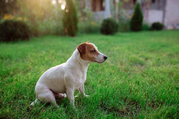 Animais de estimação. dog jack rusl terrier é jogado na grama para caçar. caçador de cachorros para se divertir no gramado.