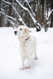 Animais de estimação na natureza. retrato de um cão de beleza. um golden retriever bonito fica em uma floresta coberta de neve de inverno.