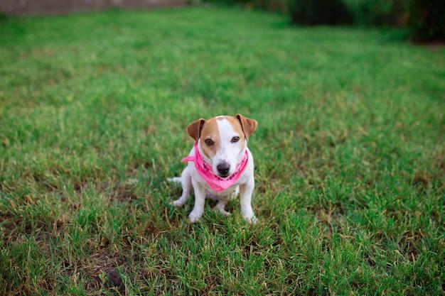 Animais de estimação. o cão jack rusl terrier senta-se na grama em um bondan rosa. seu amado animal de estimação brinca no gramado. plano geral.