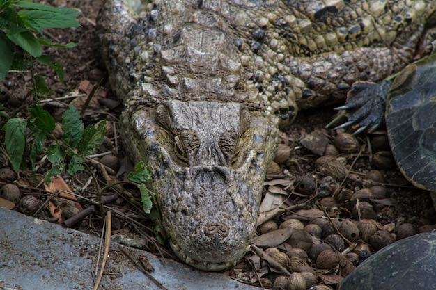 Animais do réptil do crocodilo.