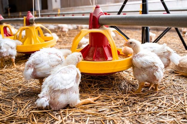 Animais domésticos de galinhas famintas comendo alimentos de sistema de alimentação automatizado em granja.