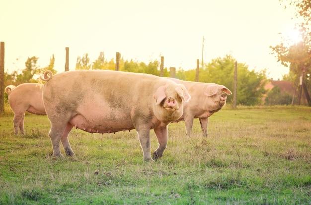 Animais domésticos de porcos no campo.