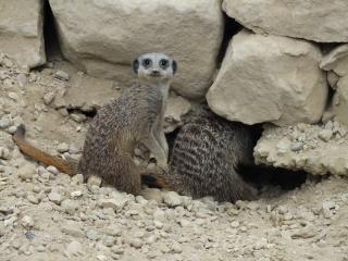 Animais mamífero meerkat