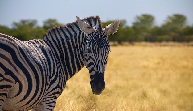 Animais selvagens africanos. zebra da montanha africana em pé na pastagem. parque nacional de etosha. namibia