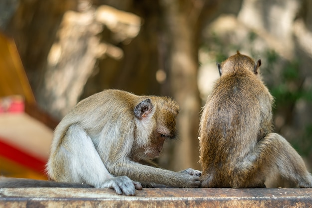 Animais selvagens de macaco da ásia, cuidados e conceito de família