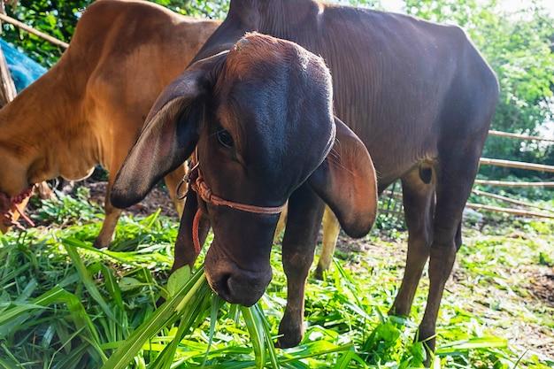 Animal bezerro e vaca comendo comida de grama