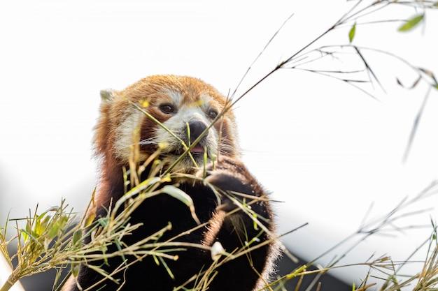 Animal bonito, um urso panda vermelho comendo bambu, enquanto segura um galho de bambu com as patas. fundo do céu claro