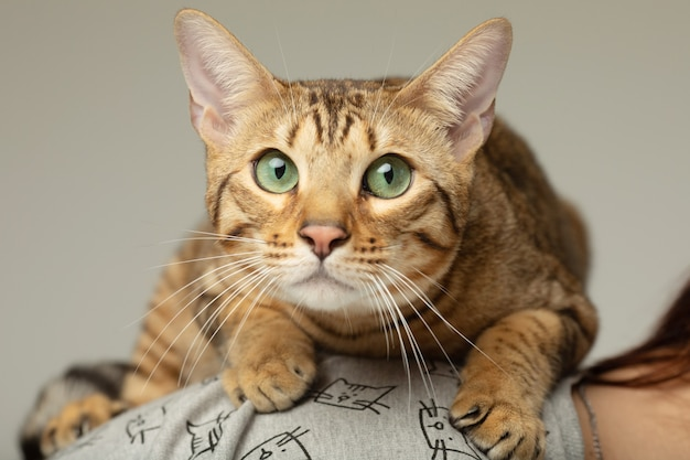 Animal cat pet concept gato serengeti em uma parede cinza