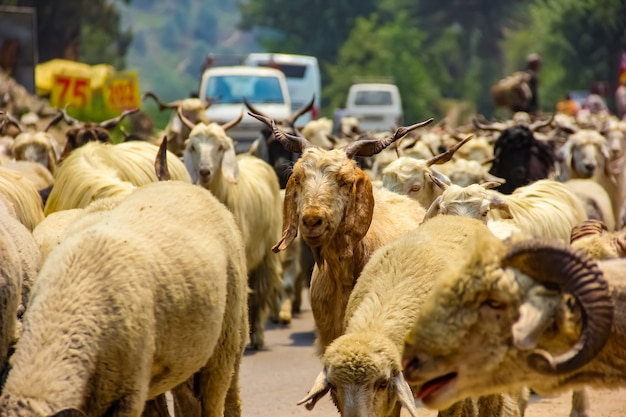 Animal de cabra na índia
