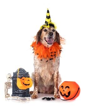 Animal de cão bretanha no halloween