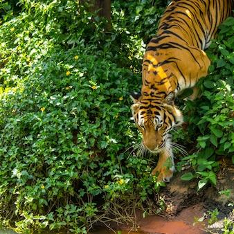 Animal de cara de tigre no fundo natural.