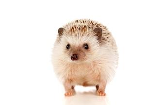 Animal de estimação agradável. Ouriço marrom
