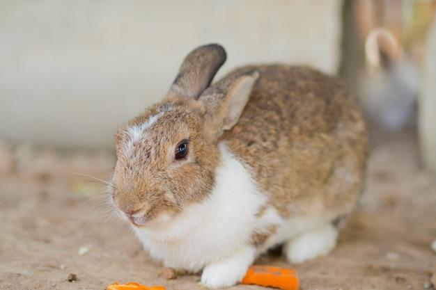 Animal de estimação do coelho