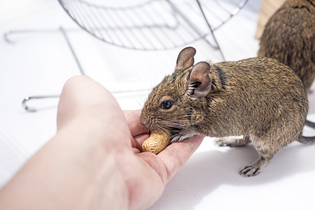 Animal de estimação em casa australiano pequeno degu.