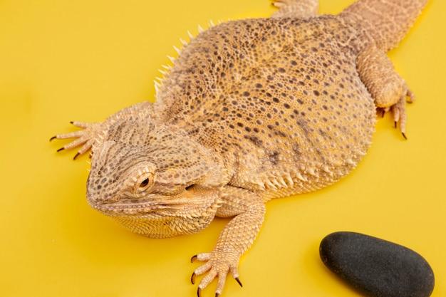 Animal de estimação iguana de alto ângulo com pedra