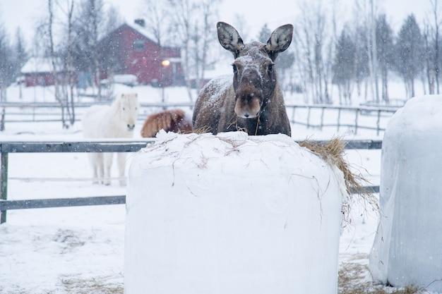 Animal de fazenda dando um passeio no campo coberto de neve no norte da suécia