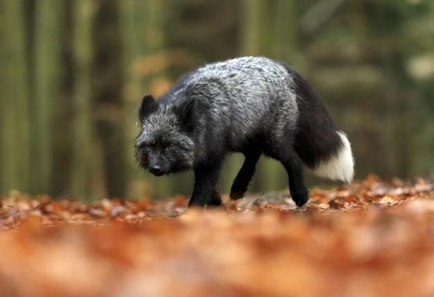Animal de mamíferos da vida selvagem e raposa