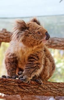 Animal exótico - coala sentado em uma árvore