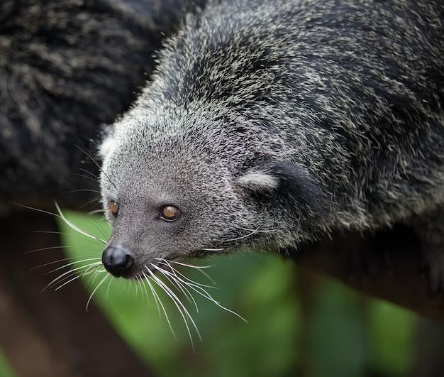 Animal exótico, raro e divertido - binturong