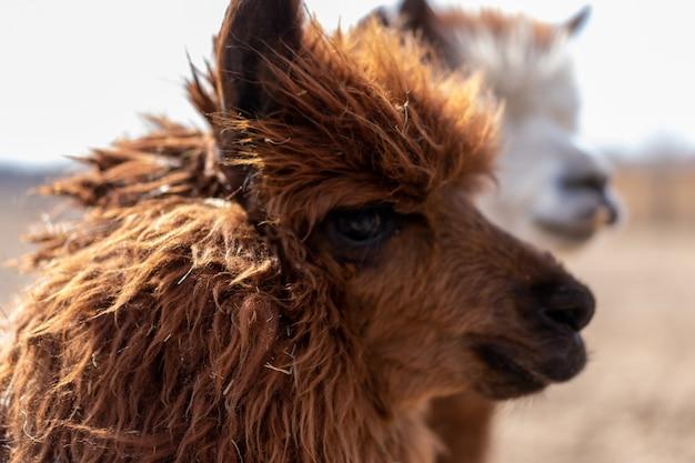 Animal fofo, alpaka lama, na fazenda ao ar livre, com dentes engraçados