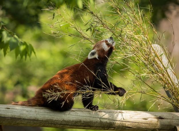 Animal fofo, um urso panda vermelho comendo bambu