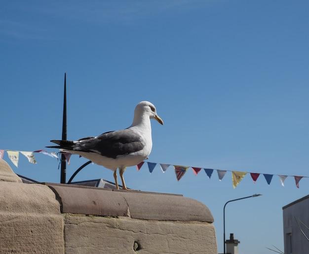 Animal gaivota da classe aves (pássaros)