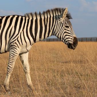 Animal herbívoro zebra africano na estepe de perto
