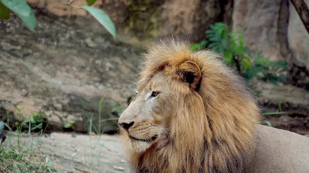 Animal leão