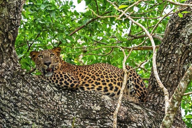 Animal leopardo, pantera selvagem, rosnando, deitado em uma árvore na selva