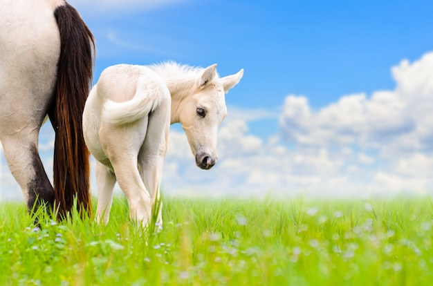 Animal na bela natureza, égua cavalo branco e cavalo bebê no pasto cheio de grama verde no fundo do céu azul, potro bonito volta para olhar com inocência na fazenda de cavalos