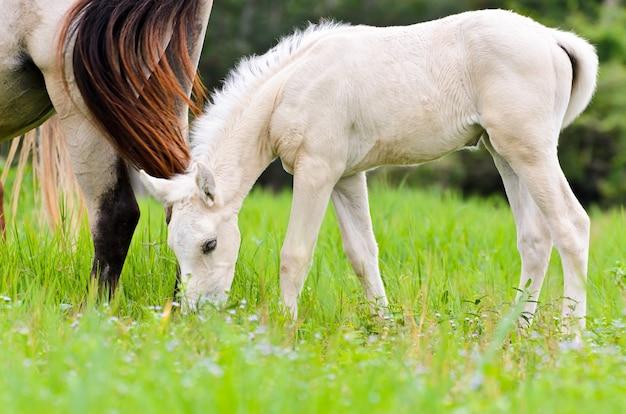 Animal na bela natureza, égua cavalo branco e cavalo bebê no pasto cheio de grama verde, potro bonito ao lado de sua mãe na fazenda de cavalos