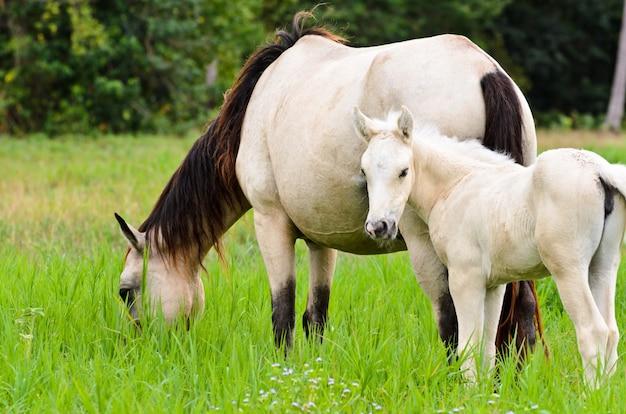 Animal na bela natureza, égua cavalo branco e cavalo bebê no pasto cheio de grama verde, potro bonito se volta para olhar com inocência no cavalo