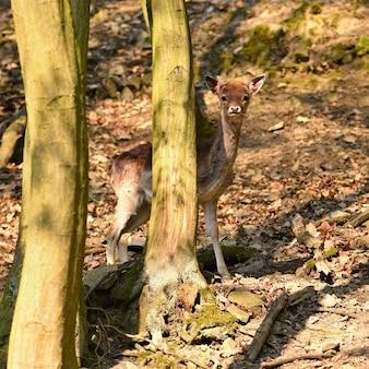Animal na natureza. veados na floresta ao pôr do sol.