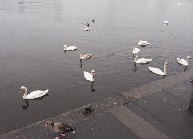 Animal pássaro cisne branco