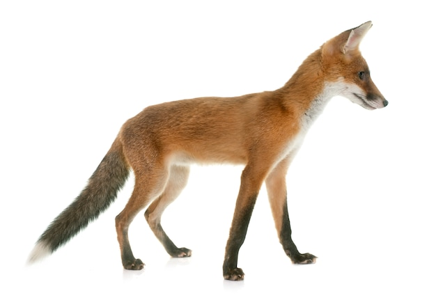 Animal raposa