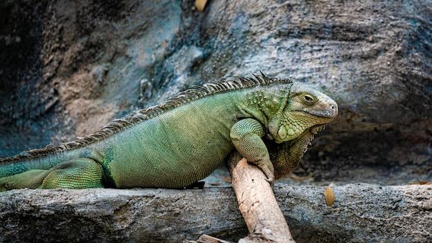 Animal réptil iguana verde