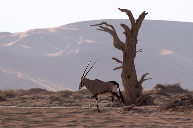 Animal selvagem africano. oryx solitário caminha pelo deserto do namibe