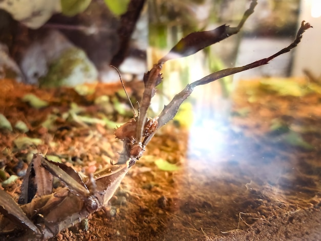 Animal stick inseto mackleigh em terrário atrás de um vidro