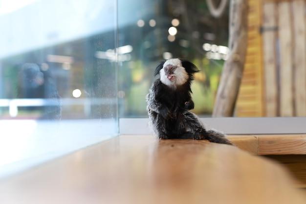 Animal. um pequeno macaco uistiti em um fundo desfocado mostra sua língua. lugar para inscrição