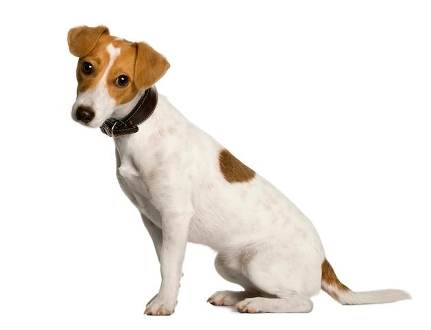 Ano de jack russell terrier