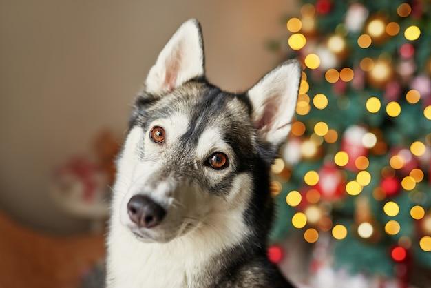 Ano novo cão husky está sentado perto da árvore de natal